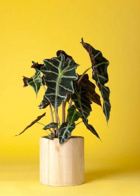 alocasia houseplants